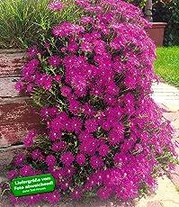 "BALDUR-Garten Delosperma""Cooperi"", 3 Pflanzen winterhart Eisblumen Steingarten"