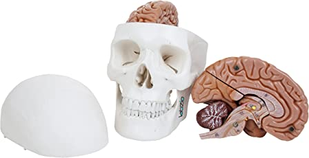 Labzio by EISCO - Premium 3 Part Human Skull Model with Movable Jaw and 8 Parts Dissectible Brain, Anatomical Medical Model, Perfect for the Study of Human Skull and Brain, Comes with a Detailed Study Guide