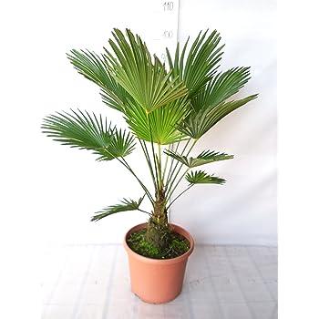 BALDUR-Garten Winterharte Kübel-Palmen Chinesische Hanfpalme ...