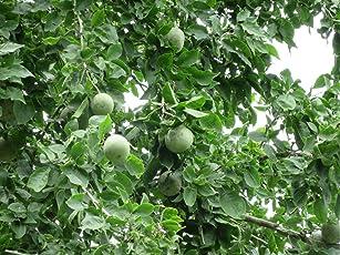 Bael Bel Vilvam Maredu Bhel Wood Apple Bitter Orange Stone Apple Aegle Marmelos Living Plant in Poly Bag