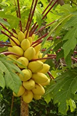 10 seeds Golden Thai Dwarf Papaya -PERFECT FOR GROWING IN POTS