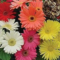 Graines gerbera, 100pcs / Sac gerbera Graines colorés Remarquable Graceful Gerbera Graines de fleurs pour le jardin