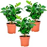 Coffea arabica Nana |Set di 3 piante da caffè |Altezza 25-30 cm |Vaso Ø 12 cm
