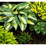 Semillas de Hosta - Hosta sp.