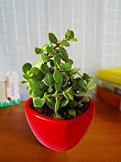 Rolling Nature Good Luck Jade Plant in Red Heart Ceramic Pot