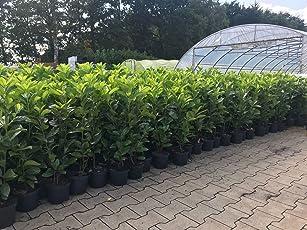 Prunus lauroc.'Novita' winterharte Kirschlorbeer 60-80cm im Topf gewachsen