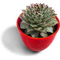 HILLMART Natural Live Succulent Sempervivum calcareum Red tip 'Fire Dragon' with Red Pot for Gift & Desktop