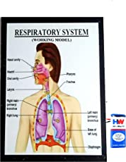 Respiratory System Working Model Science Project