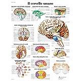 3B Scientific VR4615L il Cervello Umano