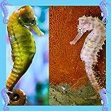 Seepferdchen-Foto-Collage