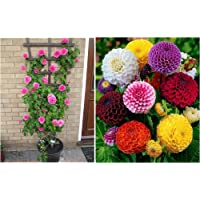 Creative Farmer Dahlia Bambino Dwarf Garden Hanging Pot Flower Seeds & Beginners Climbing Rose Bonsai Suitable Seeds Combo