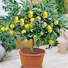 Azalea Gardens Rare Exotic Tropical Fruit Meyer Lemon Dwarf Citrus Plant (1 Healthy Live Seedling Plant)