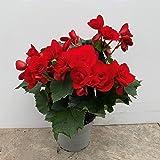 Begonia eliator - planta natural - maceta 13cm. - altura total aprox. 30cm. - apta para interior y exterior - (envíos solo a