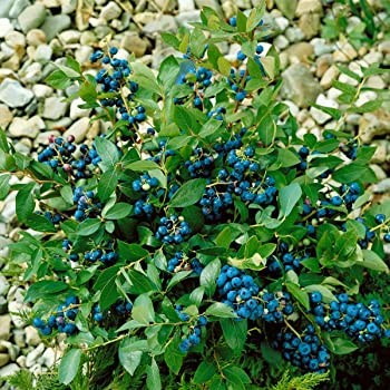 baldur garten topf heidelbeere blaubeeren heidelbeeren pflanze 1 pflanze vaccinium corymbosum. Black Bedroom Furniture Sets. Home Design Ideas