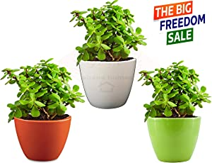 Abana Homes Good Luck Jade Plant With Pot Indoor Air Purifying Plant (Combo of 3)