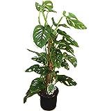 Monstera Monkey Leaf 16cm