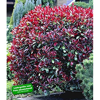 baldur garten photinia hecke 39 red robin 39 5 pflanzen heckenpflanzen immergr ne winterharte hecke. Black Bedroom Furniture Sets. Home Design Ideas