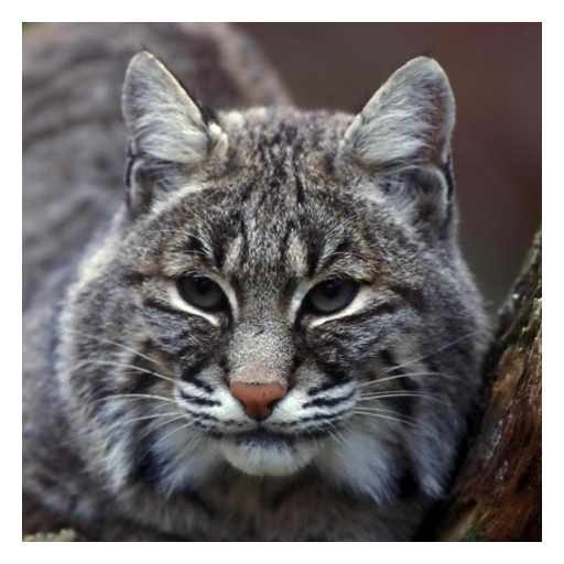 Lynxes and Bobcats - Live Wallpaper - Bobcat Lynx
