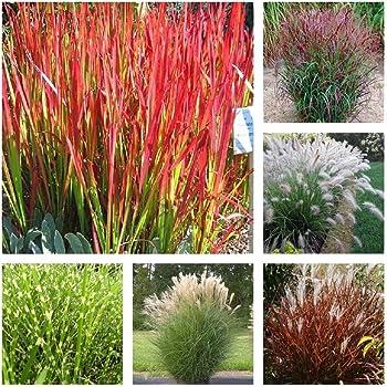 Baldur Garten Graser Kollektion Winterhart 2 Pflanzen Rote Bambus