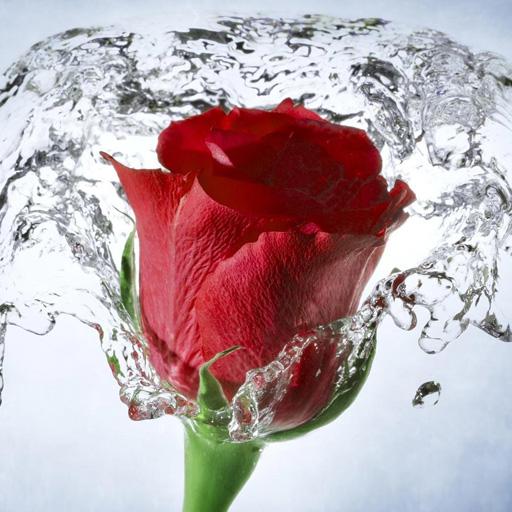 Rose Floral Wallpaper (Flower Wallpaper, Floral, Rose Background: Rosely)