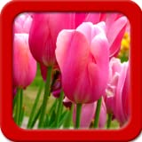 Tulpen Live Wallpapers