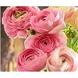 10 x Ranunculus Asiaticus Pink Summer Flowering Bulbs Persian Buttercup Aviv Cut Flowers Hardy Garden Perennial Corms…