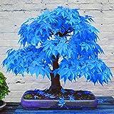TOYHEART 100 Piezas De Semillas De Flores De Primera Calidad, Semillas De árboles De Arce Atractivas Hermosas Y Encantadoras