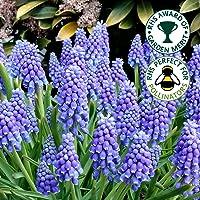 MUSCARI ARMENIACUM Blue Grape Hyacinth Spring Flowering Garden Bulbs (10)