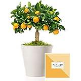 Naranjo Enano Calamondin 38 cm en maceta de 16 cm diámetro entregado en caja de regalo con tríptico con información y guía de