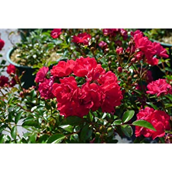 Bodendeckerrose The Fairy Rot Reich Bluhende Sehr Robuste Rote Rose