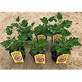 Planta Antimosquitos-Citronella-Pack 6 Plantas - Geranio (Pelargonium Graveolens)-Planta Aromática-Planta Natural- 13 cmø -