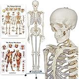 Modèle anatomique du squelette humain - Grandeur nature 175 cm - Deux planches incluses (Buddy the Budget Skeleton)