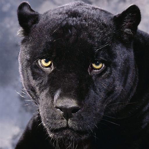 Santa Rosa Panthers (Santa Panthers)