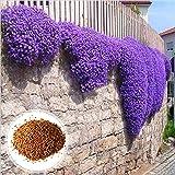 C-LARSS 1 Bolsa De Semillas De Berro Púrpura, Resistentes Al Frío, Fáciles De Plantar, Llamativas Semillas De Hierbas Para Ja