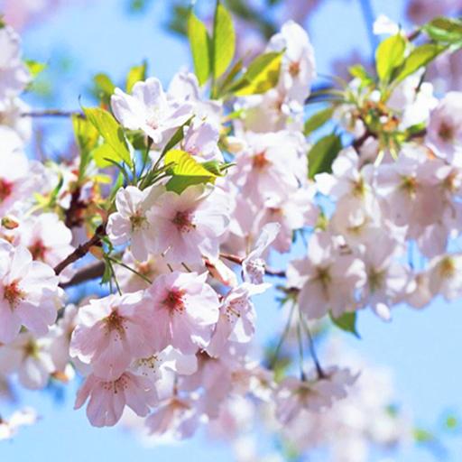 Cherry Blossom Live Wallpaper: Amazon.co.uk: Appstore for ...