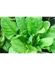 OL Seed Desi Spinach, Palak Seeds (Pack of 200 Seeds)