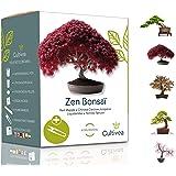 Cultivea Mini – Kit Prêt à Pousser 5 Bonsaï – Graines de Qualité - Jardinez et décorez - Idée Cadeau (Red Mapple, Chinese Cer