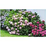 20 Semillas de Hortensia Mixta (Hydrangea Viburnum)