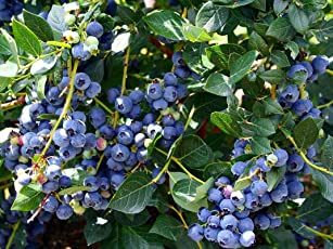Azalea Garden Rare Bush Blueberry Fruit, 1 Healthy Plant