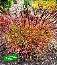 """BALDUR-Garten Chinaschilf""""Red Chief"""" 1 Pflanze Miscanthus sinensis winterhart Chinagras"""