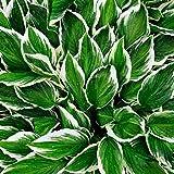 Hosta pflanze,Flores reverdecimiento ambientales,Plantar ahora,Embellecer el medio ambiente,Planta decorativa mágica-3 Bulbos