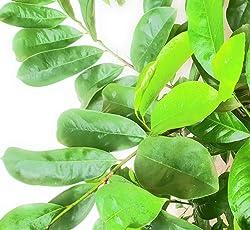 Graviola/Soursop Leaves (100 Fresh Leaves of Naturally & Organically Grown Graviola/Soursop Herbs)