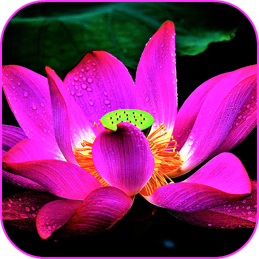 Lotus Flower Wallpaper Amazon Fr Appstore Pour Android