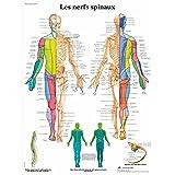 3B Scientific Modèle Anatomique Nerfs Spinaux