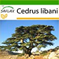 SAFLAX - Cedro del Líbano - 20 semillas - Con sustrato estéril para cultivo - Cedrus libani