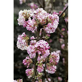 Winterschneeball Charles Lamont - Viburnum bodnantense - Winterblüher rosa Zierstrauch - von Garten Schlüter - Pflanzen in Top Qualität