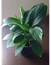 Plantsguru Peace Lily Spathiphyllum Live Plant