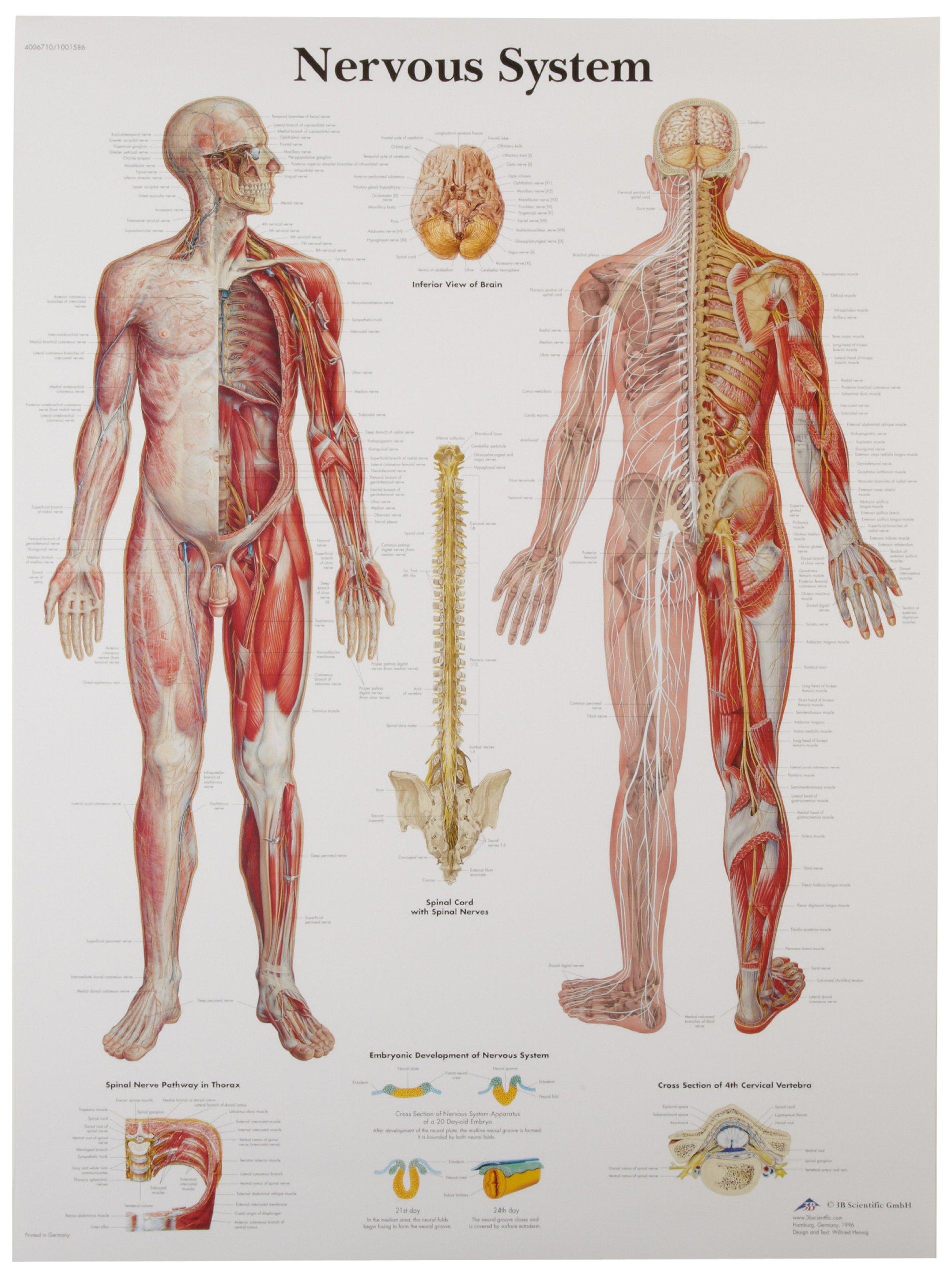 3b Scientific Human Anatomy Nervous System Chart Paper Version Ebay