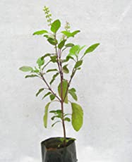 Tulsi or Holy Basil Live Plant Sapling (Without Pot)