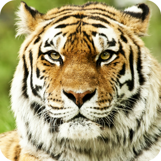 Tiger Live Wallpaper HD Amazoncouk Appstore For Android